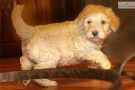 Hypoallergenic Shed Free Dogs by 28 Hypoallergenic Shed Free Dogs Aussiedoodle Puppy For