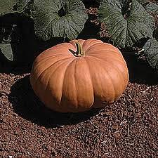 Connecticut Field Pumpkin by Autumn Buckskin F1 Hybrid Pumpkin Seeds Ne Seed