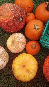 Stages Of Pumpkin Plants by 30 Best Growing Pumpkins Images On Pinterest Pumpkins Grow