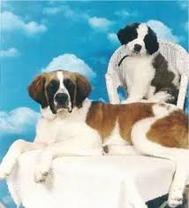 Do Short Haired Saint Bernards Shed by Saint Bernard Dog Breed Information And Pictures