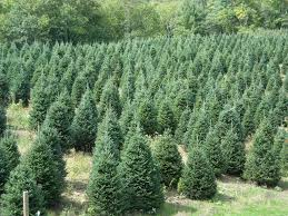 Fraser Fir Christmas Trees North Carolina by Bryans Christmas Trees Greensboro