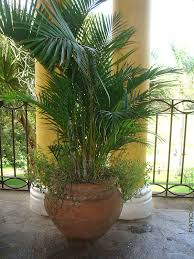 golden palm in pots clustering golden butterfly palm tree areca lutescen 9
