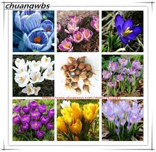 buy wholesale flower bulbs crocus saffron from china flower