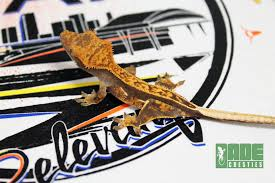 Extreme Halloween Crested Gecko by Dade Cresties Product Categories Available Geckos