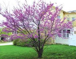 American Redbud From Stark Bros
