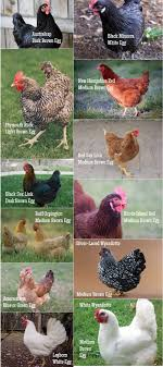 A Practical Guide To Keeping Chickens: Chicken Basics 28 Best Keeping Chickens Warm Images On Pinterest 21 About Raising Chicken Pros And Cons Of Backyard 20 Winter Boredom Busters For Empty Plastic The Chick Quarantine When How Beginners Guide To Sustainable Baby Steps 908 Chickens Thking Raising Quail In Your Backyard Find Out How You Beckys Fresh Eggs Fun Pets In Your Cheap For Meat Find Things I Wish Had Known Before Getting 212