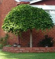 Dwarf Weeping Mulberry Tree