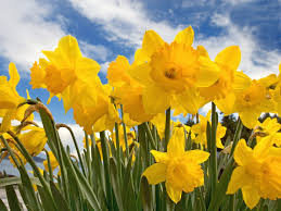 the daffodil project medicine hat a million daffodil bulbs by 2025