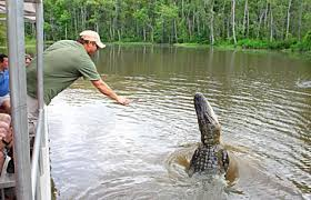alligator bayou lake update louisiana see alligators on louisiana sw tours