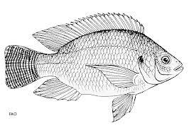 FishEthoBase Oreochromis Niloticus