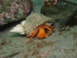 Do Hermit Crabs Shed Their Whole Body by Underwater Hermit Crab Animals U0026 Creatures U003c3 Pinterest