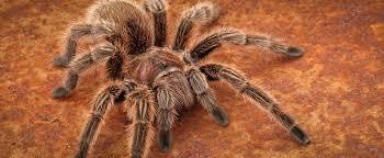 Do Tarantulas Shed Their Legs by Invertebrates Lehigh Valley Zoo