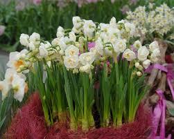 narcissus bridal crown bulbs buy at farmer gracy uk