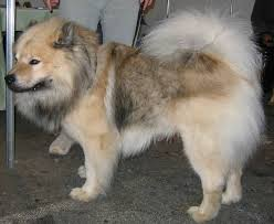 Dogs That Dont Shed Keeshond by Eurasier Dog Chow Chow Samoyed Keeshond Mix Info Temperament