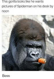 this gorilla looks like he wants pictures of spiderman on his desk
