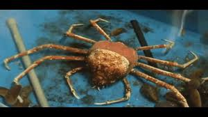 Do Hermit Crabs Shed Shell by A Giant Spider Crab Is Shedding Shell Or Molting Youtube
