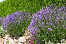 lavendel pflanzen pflegen vermehren schöner wohnen