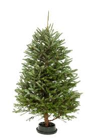 Swivel Straight Christmas Tree Stand by Christmas Tree Watering Tips U2013 How To Get A Christmas Tree To Take
