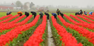 if it s april for blooming skagit valley the seattle times