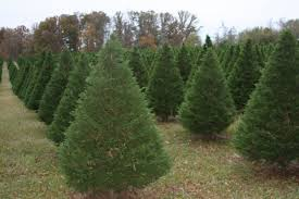 Christmas Tree Farm Lincoln Nebraska by Trees Plants And Pests With Nicole