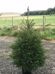 Potted Christmas Trees For Sale by Potted Norway Spruce Scottish Christmas Trees