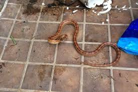 Corn Snake Shedding Signs by Grandad Mistakes Metre Long Snake For Garden Hose Hanging In His