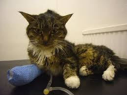renal failure in cats chronic renal failure in cats