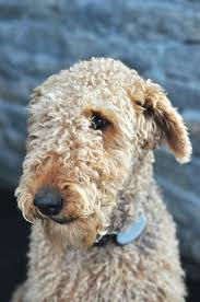 Do Airedale Puppies Shed by Dogwooddales Grooming U0026 Hand Stripping U2014 Dogwooddales Airedale