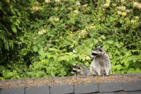 7 Tips To Keep Raccoons Out Of Your Yard And Home Service Wildlife Command Center Mo How To Get Rid Of Raccoons Youtube With A Motion Activated Sprinkler My To Of Raccoons Video Roof Pool Attic Yard 42 Best Raccoon Pictures Images On Pinterest Wild Animals Search For A Home Removal Homes All City Animal Trapping November 2010 Tearing Up Your Yard Theyre After The Grubs 3 Easy Ways Wikihow In Warning Signs Solutions Problems Precise Termite Baylcariasis The Tragic Parasitic Implications In
