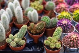 grüner kaktus in töpfen sammlung verschiedener kakteen in