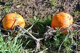 Pumpkin Patch Western Massachusetts by Best Of Mass Pumpkin Patches Top 5 Rankings Winner Announced