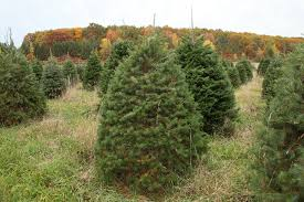 Types Of Christmas Tree Leaves by The Hober Tree Farm