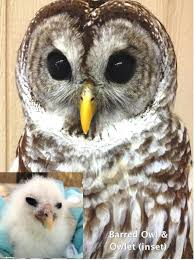 Whoooooo Loves Owls? | Friends Of Texas Wildlife 584 Best Barn Owl Images On Pinterest Barn Owls Children And Great Horned Owl Wikipedia World Bird Sanctuary Growing Up Around Goblin Best 25 Ideas Beautiful Owls In The Stairwell At Work Whooo Loves Friends Of Texas Wildlife How To Find And Identify Owl In Nj Audubon Ebird What Do Eat Free Cutandpaste Activity Both Color Migrating Bats May Be Resting Not Sick Says Uc Bat Expert Iowa Rate This Amazing Photo That Ebony Brown Entered Flamboyant