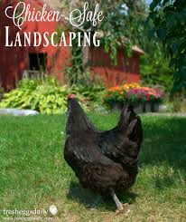 Chicken Friendly Landscaping - Safe Bushes, Shrubs, Flowers And ... Diy Treat Basket Backyard Chickens Treating Bumblefoot In Chicken Coops Homemade Coops Backyard Chickens Page 1 Garden Delights Homemade Scratch Block And Boredom Buster For 175 Best Homestead Images On Pinterest Backyard Chickensthe Girls Get Treats Being Good Layers The Chick 20 Winter Busters Causes Prevention Treatment Treats Guide Dont Love Your Pets To Getting A Cold Treat Youtube Learn The Benefits Of Pumpkin Your Flock From Tillys