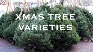 Christmas Trees Types by Christmas Incredible Different Typesf Christmas Trees Image