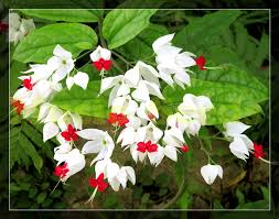 1bag 100pcs clerodendron thomsonea seed japanese mini flower