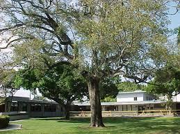 Florida Live Oak Quercus Virginiana