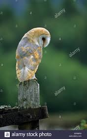 Barn Owl Tyto Alba Sitting On An Old Gate Post In A Field Looking ... Standing Twelve Weekold Barn Owl Side View Stock Photo Getty Images Boxes South Downs National Park Authority Old Man Of Minsmere Aka John Richardson Gorgeous Birds In Folklore Owls And Ravens Randomdescent Orbit The 5 Weekold Baby Who Has Been Hand Ared By Owl Wikipedia Coda Falconry On Twitter Our 7 Week Old Barn Was Bred At Dont Go Deaf New Zealand Geographic Australian Masked Rescuing Owls Tropic Wonder Audubon Art Print Vintage Nature Bird Eyfs Blog Archive Wise