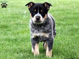 ausky puppies
