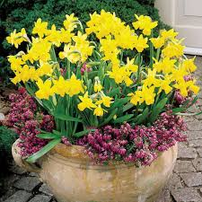 buy narcissi tete a tete plants j bulbs