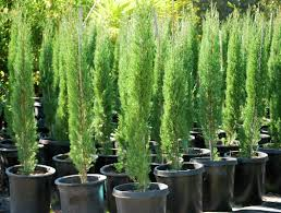 Italian Cypress Trees Treatment : Caring Italian Cypress Trees ... 15 Best Tuscan Style Images On Pinterest Garden Italian Cypress Trees Treatment Caring Italian Cypress Trees Tuscan Courtyard Old World Mediterrean Spanish Excellent Backyard Design Big Residential Yard A Lot Of Wedding With String Lights Hung Overhead And Island Video Hgtv Reviews Of Child Friendly Places To Eat Out Kids Little Best 25 Patio Ideas French House Tour Magical Villa Stuns Inside And Grape Backyards Mesmerizing Over The Door Wall Decor Il Fxfull Country
