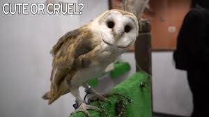 Inside The Bizarre 'Owl Cafés' Of Japan Where You Can Pet A ... 55 Best Owl Images On Pinterest Barn Owls Children And Hunting Owls How To Feed Keep An Owlet Maya A Brief Introduction The Common Types Of Six Reasons Why You Dont Want An Owl As Pet Bird Introducing Gizmo Baby Whitefaced Youtube 2270 Animals 637 Oh Meine Uhus I Love Owls My Barn Cat Baby By Disneyqueen1 Deviantart All Things Nighttime Predator Cute Animals