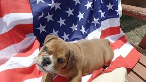 bred si e social elliotts bullbabies adorable bulldog puppies