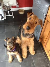 Airedale Terrier Non Shedding by 15 Best Welsh Terrier Images On Pinterest Airedale Terrier