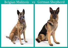 malinois vs german shepherd the ultimate comparison woof dog