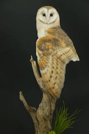 Barn Owl On Branch – UK Bird Small Mammal Taxidermist Mike Gadd Barn Owls On Oak Beam Uk Bird Small Mammal Taxidermist Mike Gadd Owl Family Clipart Night Owl Pencil And In Color Barn Baby By Disneyqueen1 Deviantart All Things Things You Always Wanted To Know About Keeping As Pets Portrait Of A During Falconry Traing Dubai Uae The Centre Staffvolunteers Gallery My Maltese Falcon A Day Falconry Speck The Globe 130109 130110 Wildlife Center Virginia Lydias Video Youtube