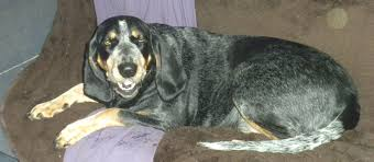 Do Bluetick Coonhounds Shed by Caring For Dogs