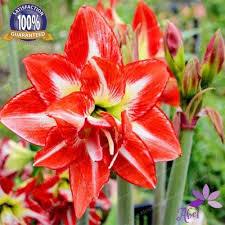 2018 4 bulbs amaryllis bulbs true hippeastrum bulbs flowers not