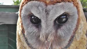 Ashy Faced Barn Owl - YouTube White Screech Owl Illustration Lachina Bbc Two Autumnwatch Sleepy Barn Owl Yoga Bird Feeder Feast And Barn Wikipedia Attractions In Cornwall Sanctuary Wishart Studios Red Eastern By Ryangallagherart On Deviantart Owlingcom Biology Birding Buddies 2000 Best 2 Especially Images Pinterest Screeching Youtube