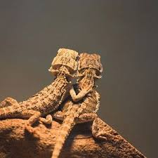 23 best bearded dragons images on pinterest reptiles